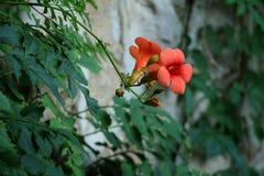 在石墙上的小红色地中海花 图库摄影