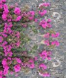 在石墙上的桃红色花 免版税图库摄影