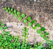 在石墙上的爬行植物 免版税库存照片