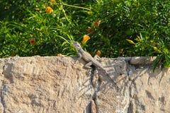 在石墙上的蜥蜴 免版税图库摄影