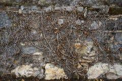 在石墙上的死的常春藤 免版税库存照片