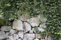 在石墙上的绿色常春藤 库存照片