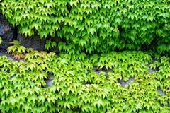 在石墙壁上的绿色爬行物 库存图片
