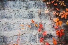 在石墙背景的弗吉尼亚爬行物 免版税图库摄影