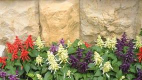 在石墙背景的Salvia 图库摄影