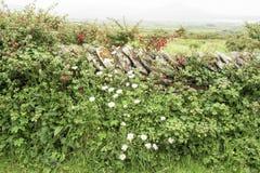 在石墙,爱尔兰之间的花 免版税库存图片