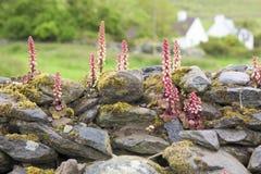 在石墙,爱尔兰之间的花 库存照片