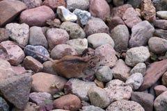 在石头中的一小老鼠姬鼠属agrarius,难看在他们的背景 ?? 免版税图库摄影
