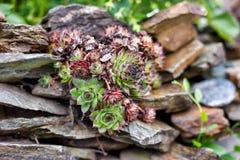 在石头中的山植物 免版税库存照片