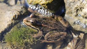 在石头中的青蛙在水中 库存图片