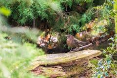 在石头安置的小棕色鸟,在秋天森林 免版税库存图片