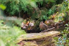 在石头安置的小棕色鸟,在秋天森林 库存图片