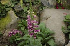 在石头旁边的浅紫色的毛地黄属植物 免版税图库摄影