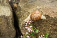 在石头的一只小的蜗牛 库存照片