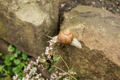 在石头的一只小的蜗牛 免版税库存图片