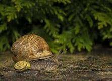 在石头的一只蜗牛 免版税库存图片