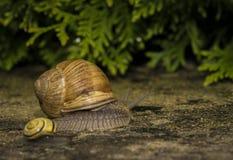 在石头的一只蜗牛 库存照片