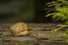在石头的一只蜗牛 免版税图库摄影
