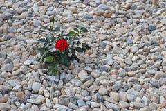 在石头的小深红玫瑰色绽放 一个掠过的小卵石 庭院和花床的装饰 使别墅环境美化设计  库存图片