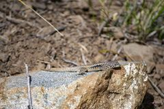 在石头的小的蜥蜴 库存照片