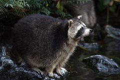 在石头的幼小浣熊 免版税库存图片