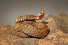 在石头的横渡的蛇蝎 免版税图库摄影
