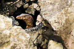在石头的水监控器蜥蜴,巨晰属salvator,泰国 免版税图库摄影