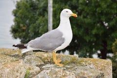 在石头的海鸥在Nessebar 库存图片