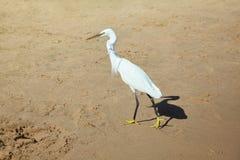 在石头的白色苍鹭在海岸 免版税库存图片
