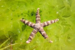 在石头的红色海星和新鲜的绿色海草 库存图片