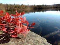 在石头的红色灌木在湖附近 免版税库存图片