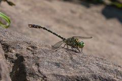 在石头的蜻蜓取暖 免版税库存图片