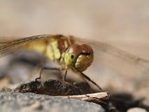 在石头的蜻蜓 库存图片