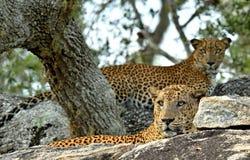 在石头的豹子 斯里兰卡的豹子、男性和女性 图库摄影