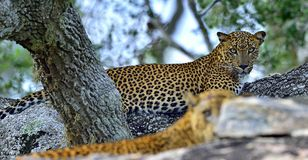 在石头的豹子 斯里兰卡的豹子豹属pardus kotiya男性和女性 库存图片