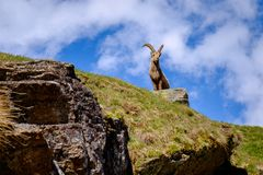 在石头的高地山羊在大帕拉迪索山国立公园动物区系野生生物,意大利阿尔卑斯山 库存图片