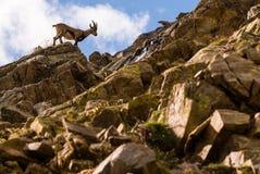 在石头的高地山羊在大帕拉迪索山国立公园动物区系野生生物,意大利阿尔卑斯山 库存照片