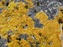 在石头的黄色地衣 图库摄影