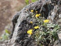 在石头的黄色花晃动有被弄脏的背景 库存图片