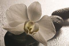 在石头表面湿白色的兰花 库存照片