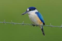 在石标澳大利亚的森林翠鸟 库存照片