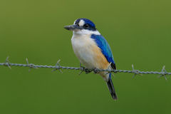 在石标澳大利亚的森林翠鸟 免版税库存照片