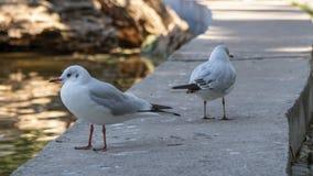 在石栏杆的两三只海鸥在公园 免版税库存照片