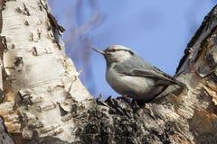 在石桦树秋天叉子坐的五子雀 库存照片