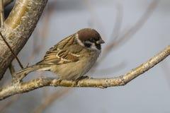 在石桦树秋天叉子坐的树麻雀 库存图片