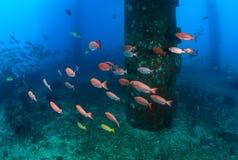 在石油钻塔的腿的附近大眼鲷鱼 免版税库存照片