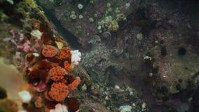 在石海底的大章鱼寻找食物 影视素材