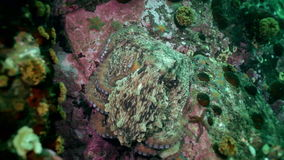 在石海底的大章鱼寻找食物 股票视频