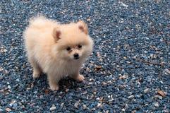 在石混凝土的Pomeranian小狗 免版税库存图片