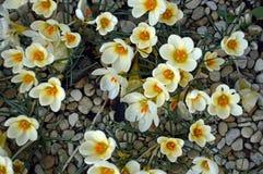 在石渣床上的番红花。 免版税图库摄影